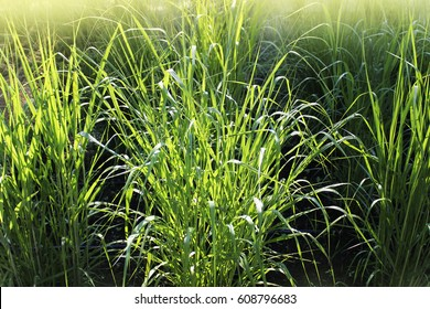 Panicum virgatum, commonly known as switchgrass, is a perennial bunchgrass .