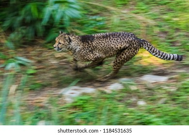 Panning photo of cheetah running fast