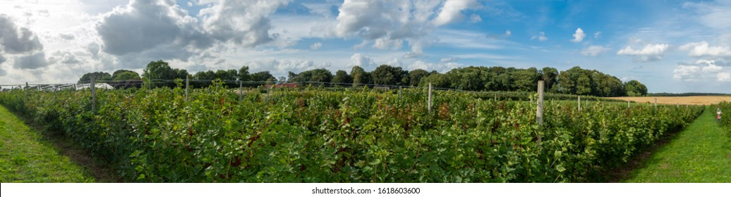 panoraic view of red currant bushs full of berries on plantage in Steinwehr, cultivation of red currant berries on organic farm full of ripe juicy berries