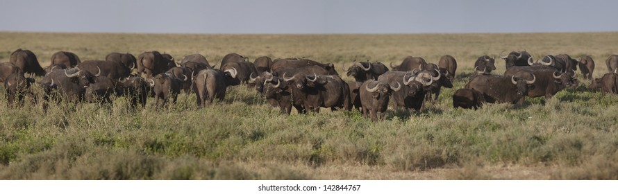 Panorama of an african buffalo herd