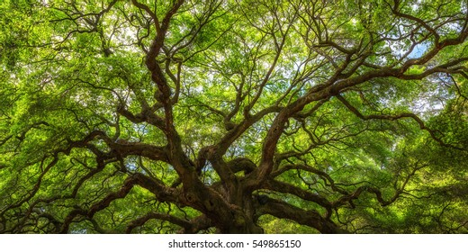 Panorama of Angel Oak Tree Branches