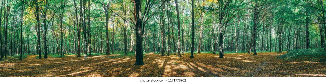 panorama. autumn forest trees. nature gold wood sunlight backgrounds.