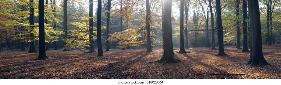 panorama of autumn leaves and beech trees in the fall near austerlitz in the province of utrecht