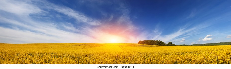 panorama of beautiful field of yellow flowers under amazing cloudy sky. natural summer or spring background