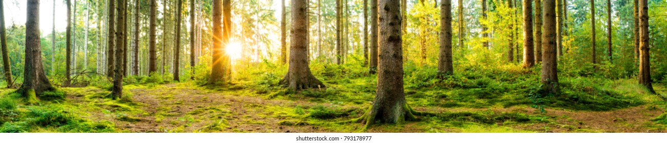 Panorama of a beautiful forest at sunrise - Shutterstock ID 793178977