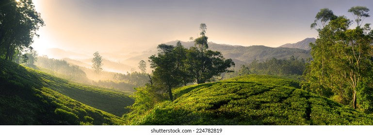Panorama of beautiful tea plantation at sunrise. Kerela, India.