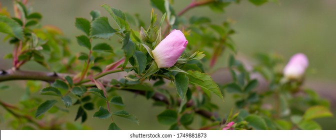 Panorama with a beautiful wild rose growing on a branch, green nature in a field with rose bushes.