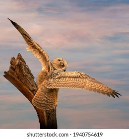 Panorama of an big Eagle Owl. Sit on a stump. Spread the wings for takeoff. Bird looks back, the orange eyes stare at you. Beautiful blue and pink sky in the background. Composite photo. Cover, social