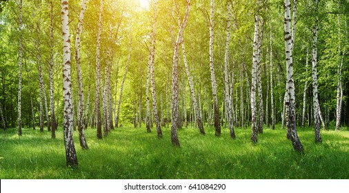 Panorama of birch forest with sunlight