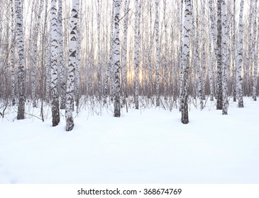 Panorama Birch Grove in winter at sunset , backlit the sun