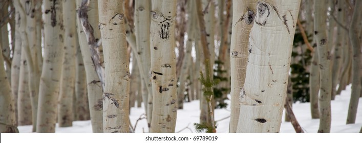 A Panorama of Birch Trees in Winter