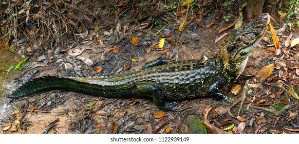 Panorama of a black caiman (Melanosuchus niger) along the shore of the Napo river in the Amazon River Rainforest Basin of Ecuador inside the Yasuni National Park, South America.