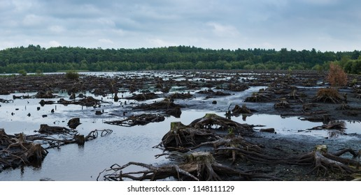 Panorama of Blakemere Moss in Delamere Forest, Cheshire, UK. After a long spell of hot weather the water level is low, revealing hundreds of tree stumps and their roots in the wetland bog.