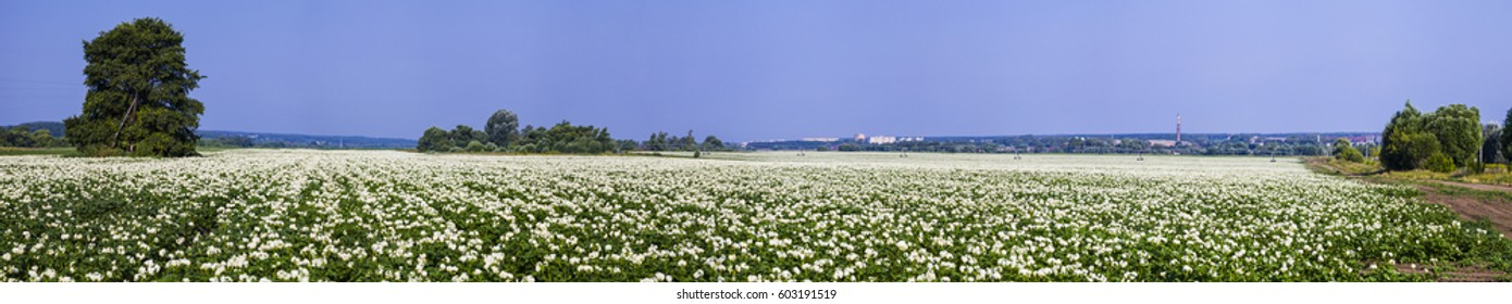Panorama. Blooming potato field on a sunny summer day. Agriculture, cultivation of vegetables.