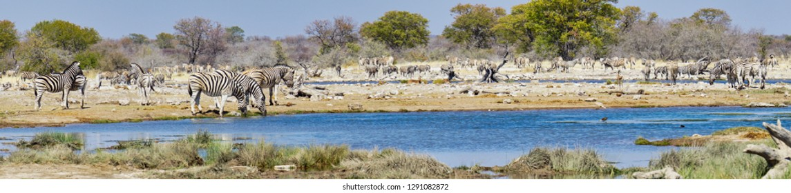 Panorama of busy watering hole teeming with zebra at Etosha National Park. Namibia, Africa.