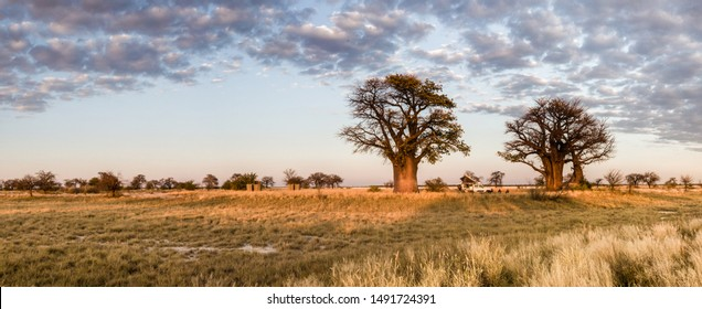 Panorama of campsite in Botswana under two baobab trees