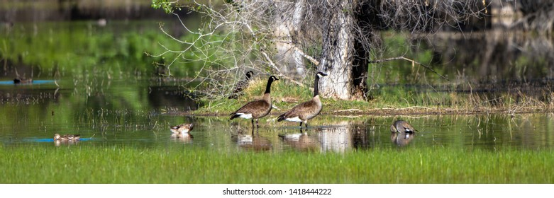 Panorama of Canada Geese and Ducks in a marsh with reflections