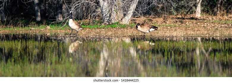 Panorama of Canada Geese in the marsh at Bosque del Apache with reflections
