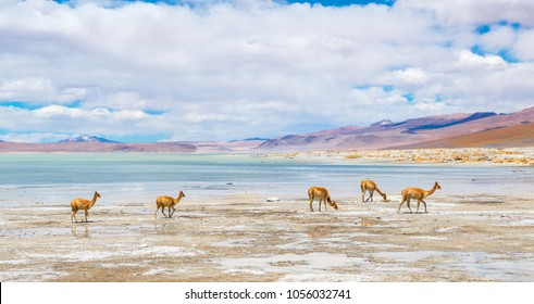 Panorama of the Chalviri Salt Flat and Lagoon with a herd of vicuna's (Vicugna vicugna) walking quietly by the edge, altiplano of the Andes mountain range Bolivia, South America.