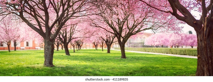 Panorama of Cherry blossom trees Alley in garden on a fresh green lawn at sunset