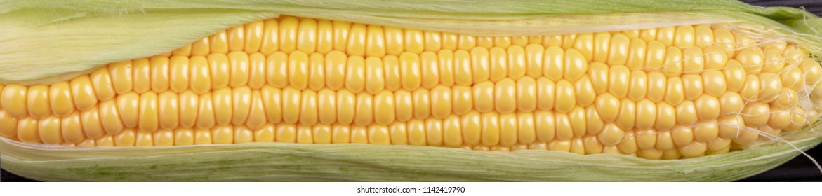 panorama close-up of large grains of ripe corn cob. vegetable harvest. fresh maize. header front-end panorama.