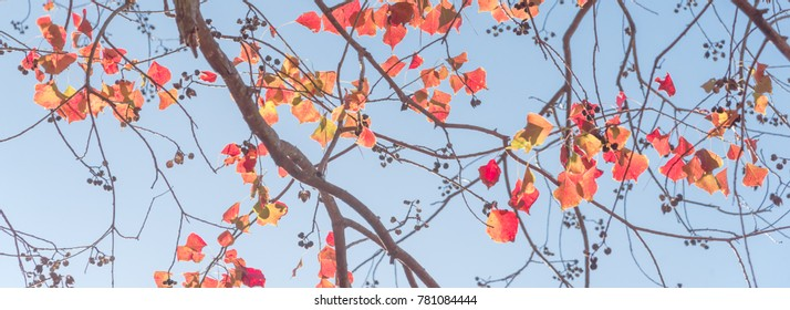 Panorama, close-up vibrant leaves changing color during fall season in Houston, Texas, US. Natural backlit light, soft and selective focus with bokeh. Colorful autumn foliage again blue sky background