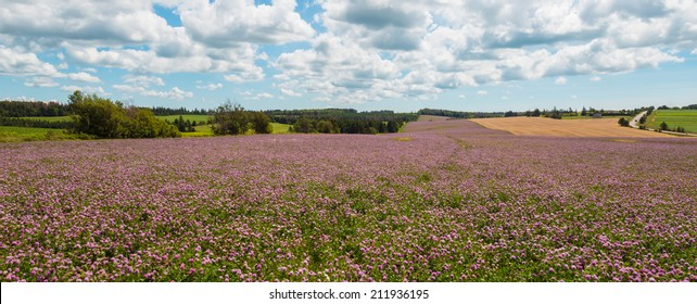 Panorama of clover flowers in bloom (Green Gables Shore; Prince Edward Island; Canada)