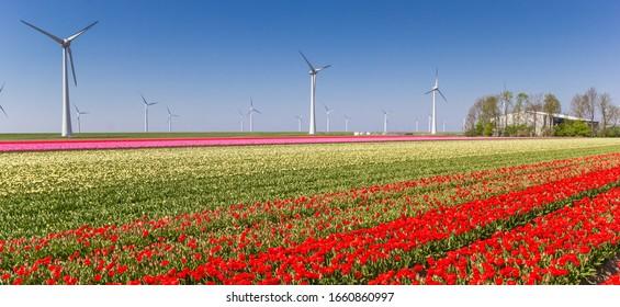 Panorama von bunten Tulpenfeldern und Windturbinen in Noordoostpolder, Holland
