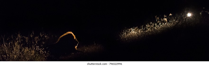 A panorama colour image of a large male lion, Panthera leo, resting in the beam of a spotlight from a safari vehicle on a dark night in the Greater Kruger Transfrontier Park, South Africa.