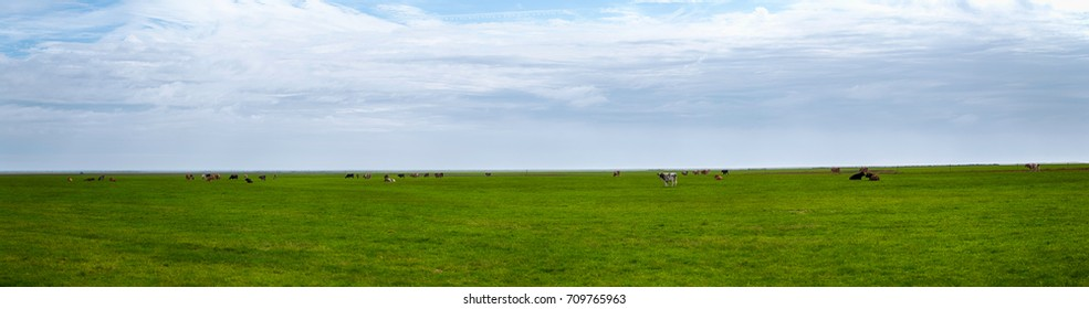 Panorama of Cows and calves lying and standing on the green grass in Iceland