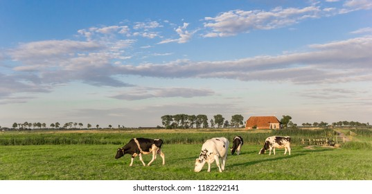 Panorama of cows and a farm in Groningen, Netherlands