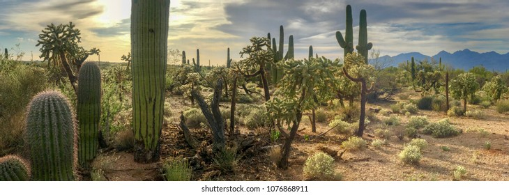 Panorama Desert Cactus - Saguaros and Cholla Cactus with a Mountain Background Of a Hazy Cloudy Sky.