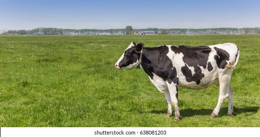 Panorama of a dutch black and white Holstein cow in the farmland near Groningen, Holland