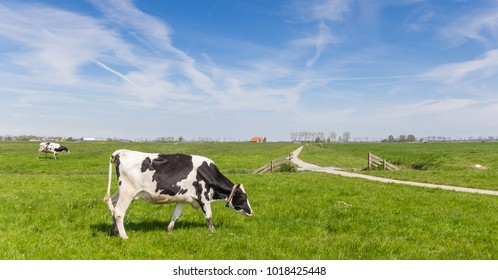Panorama of a dutch Holstein cow and a bicycle path near Groningen, Holland