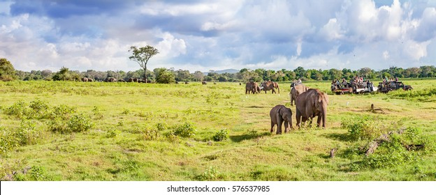 Panorama with elephants and jeeps safari. Sri Lanka