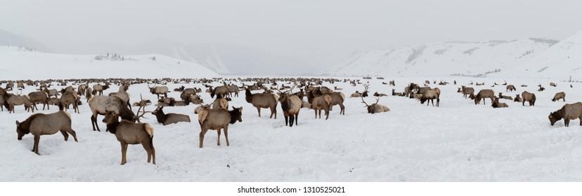 Panorama of an Elk Herd in the National Elk Refuge