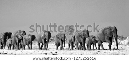 Panorama of a family herd of elephants walking across the golden sunlit African Plains in Hwange National Park, Zimbabwe, Southern Africa