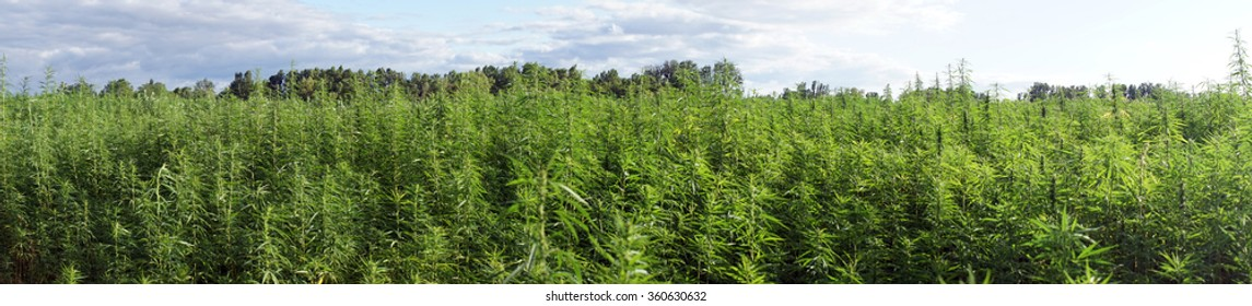 Panorama of farm field with green marijuana