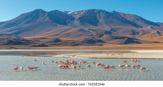 Panorama with a few hundred James and Chilean flamingos in the Canapa Lagoon in the Andes mountain range near the Uyuni salt flat, Bolivia.