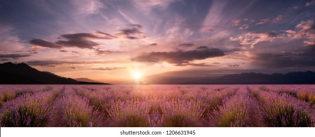 panorama field lavender at sunrise