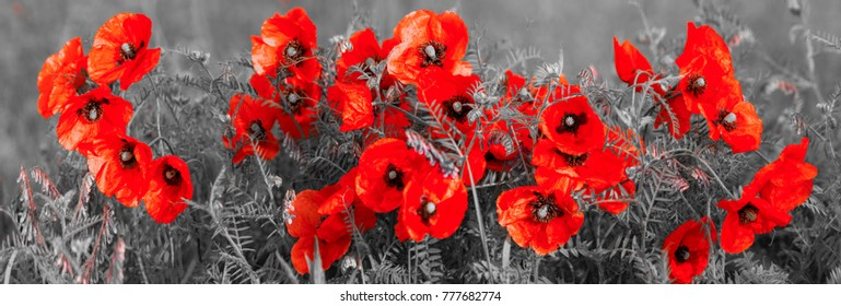 panorama with field poppies