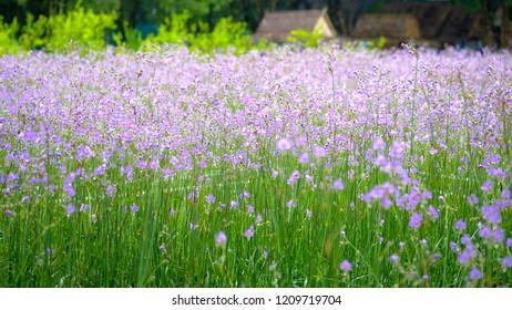 Panorama Field of Purple Flower, Murdannia giganteum, Prachinburi Thailand.