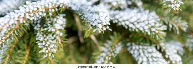 Panorama of fir branches covered with snow