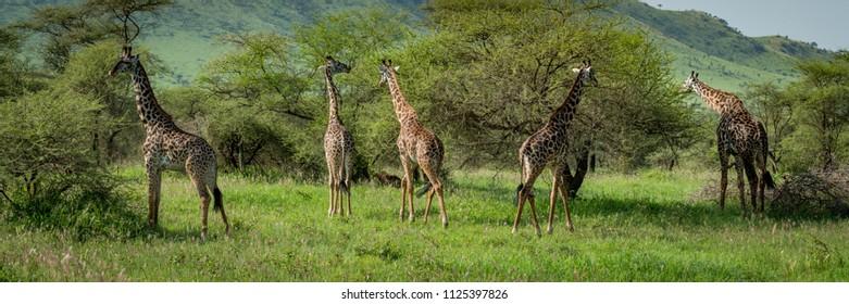 Panorama of five Masai giraffe browsing bushes