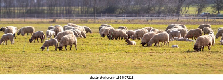 panorama of a flock of sheep in a fenced pasture