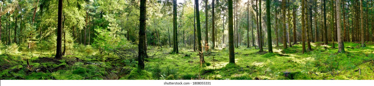 Panorama of a forest with a glade covered by moss in the light of the morning sun