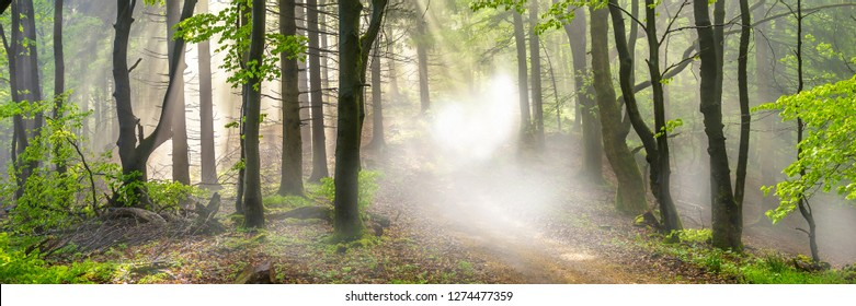 Panorama of a forest in morning mist