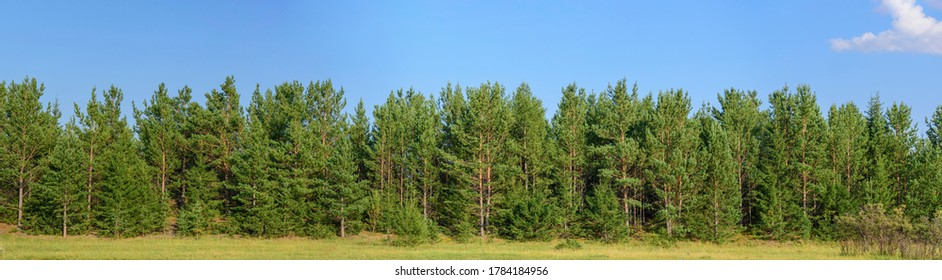 Panorama of the forest of pine trees, fir trees and shrubs. Blue sky with cloud. Concept - summer landscape for decoration. - Shutterstock ID 1784184956