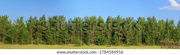 панорама-лес-сосны-ель-600w-1784