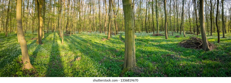 Panorama of a forest in spring